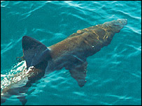 It was thought basking sharks followed a rigid pattern. Image courtesy of David Sims/MBA
