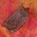 2259 Dark Chestnut (Conistra ligula)