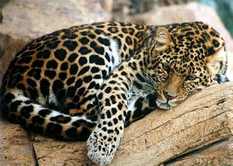 North China leopard   The Life of Animals
