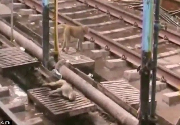 Spark out: The monkey lies unconscious on the railway tracks after getting a shock while climbing on the overhead power cables