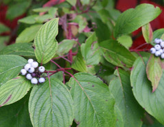mba white berries