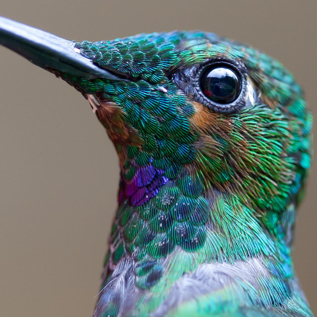 Remarkable Macro Photograph of a Hummingbird by Chris Morgan macro birds