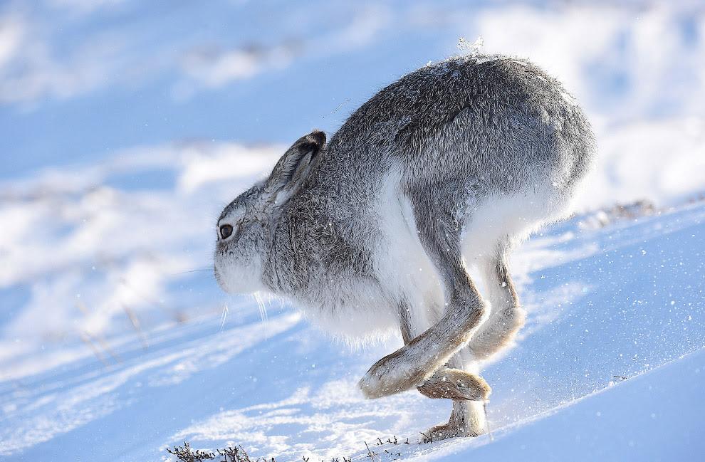 Той, що біжить заєць в горах Шотландії