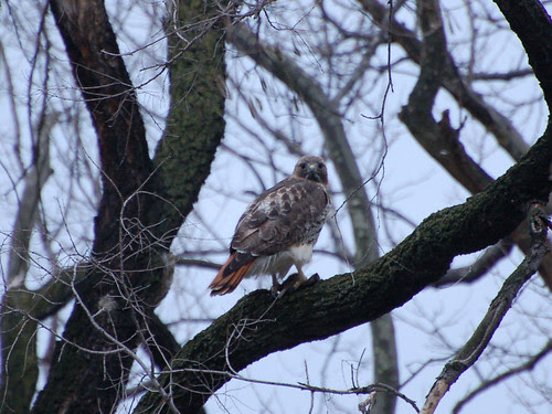 Red-Tailed Hawk Feeding in Morningside Park