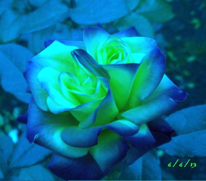 Rosas De Colores Negras Azules Verdes Arcoiris Existen