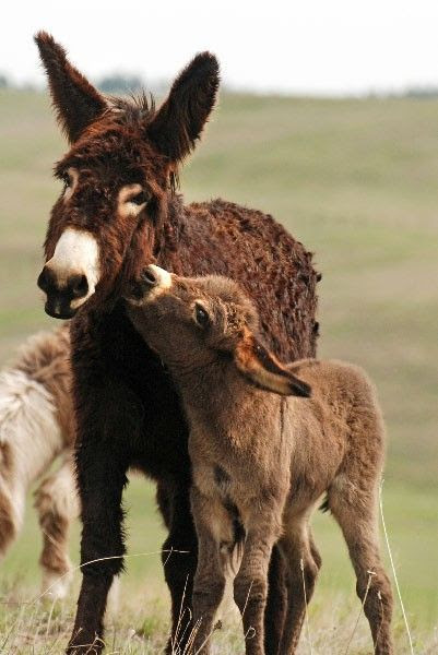 Mother and baby Burro.