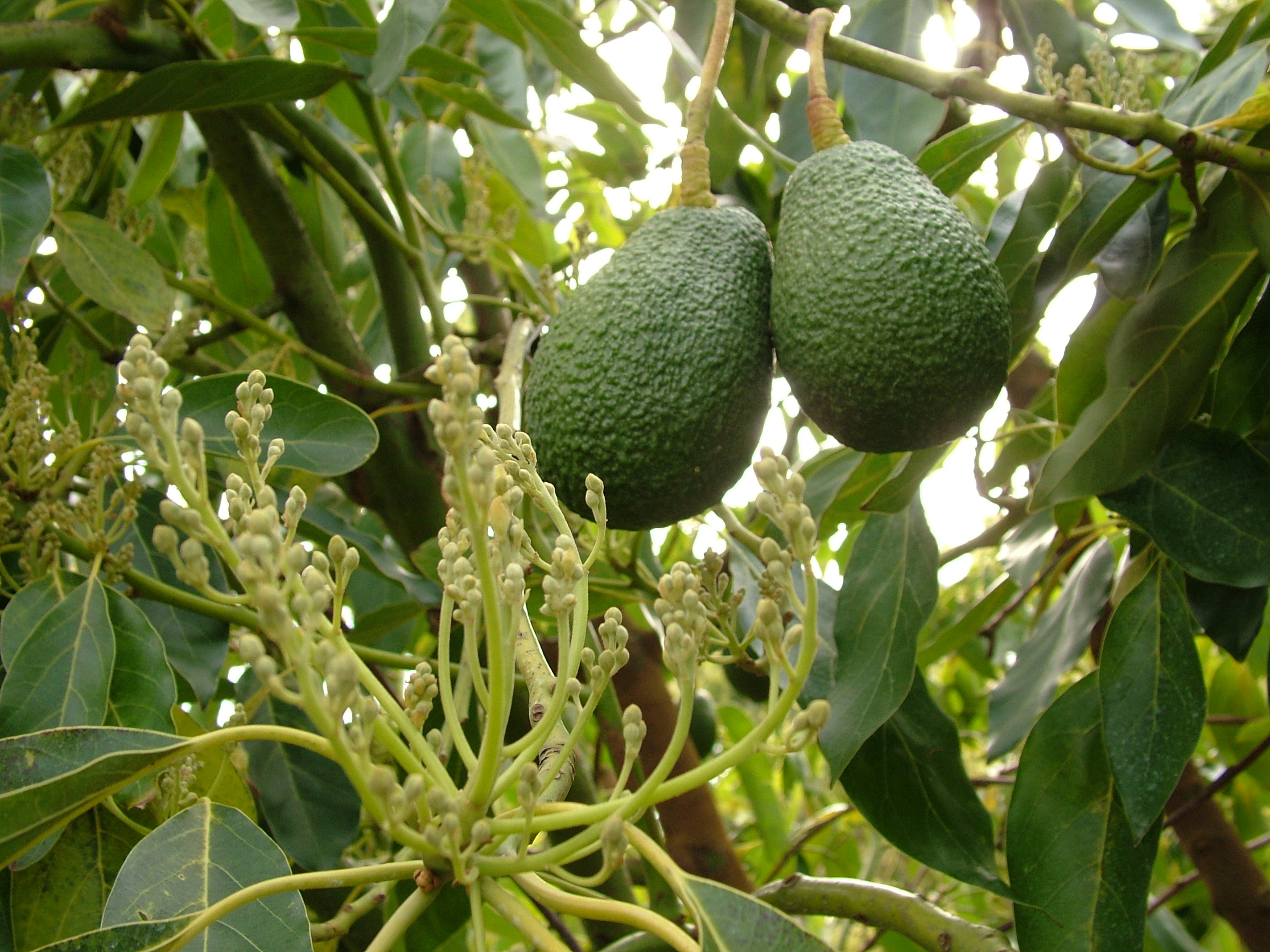 Avocados Food Source Information