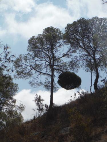 Escoba de brujas en la Zona de Orxeta (Alicante)_375x500