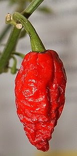 The Naga Bhut Jolokia pepper (a.k.a ghost pepper) is one of the hottest peppers in the world. (Facebook)