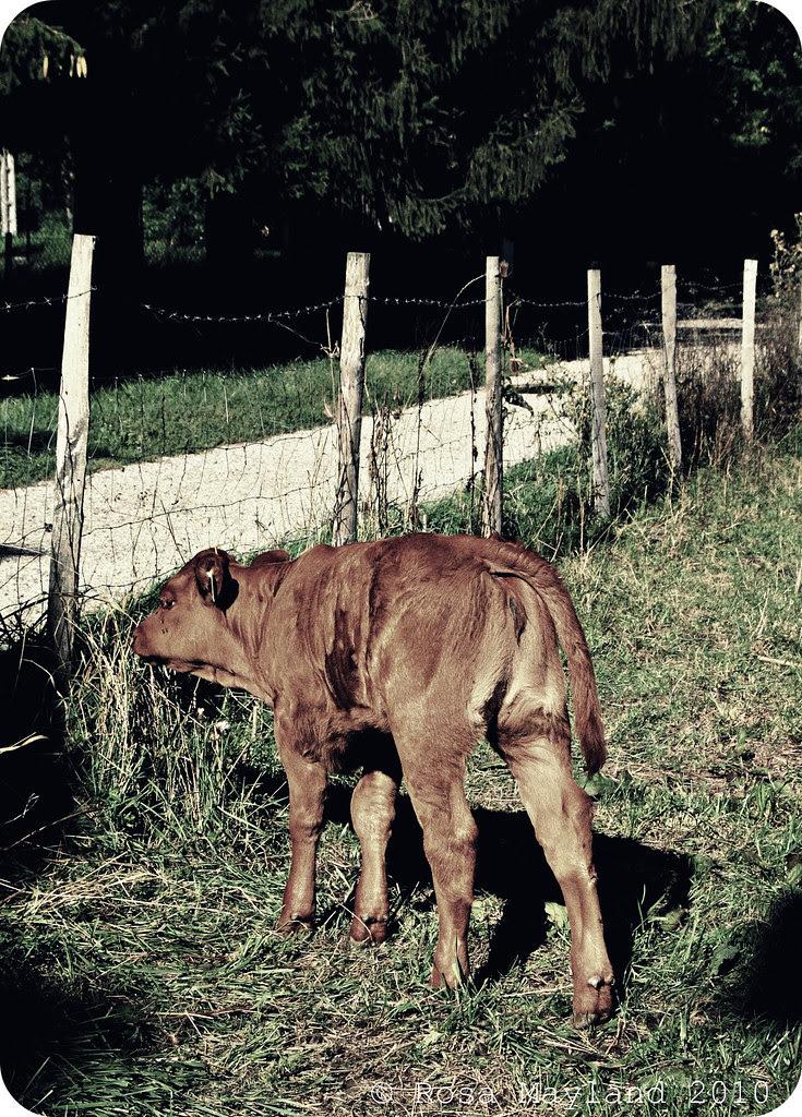 Cows 6.2 bis