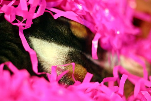 """131. """"Vivid Hues"""" - Take a picture of your dog today that features vivid colors! - last day Mar 16"""