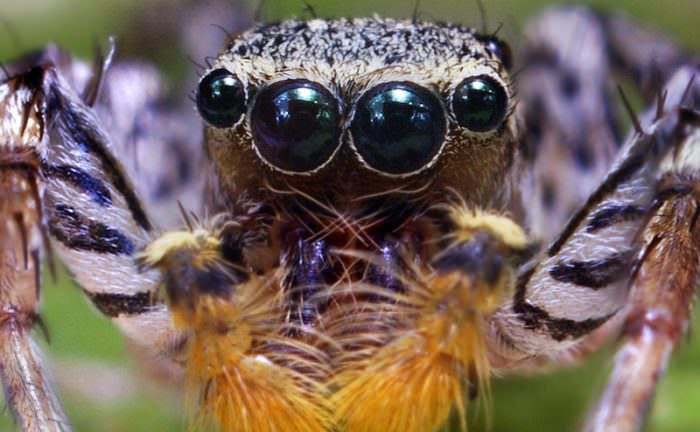 The face of a jumping spider