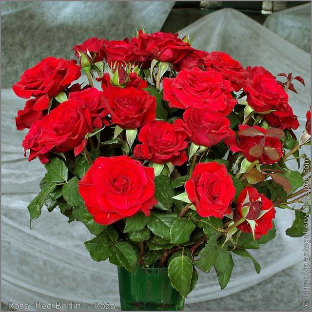 Rosa 'Red Berlin' - Róża 'Red Berlin'