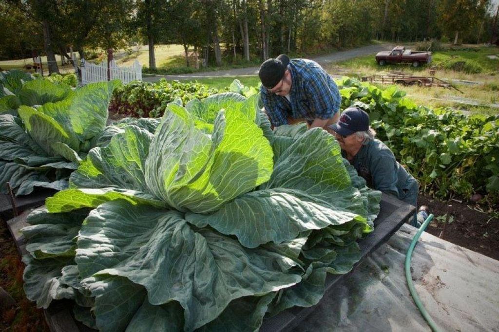 Você sabe por que os vegetais do Alasca são gigantescos? 05