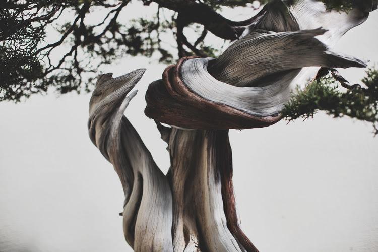 Californie Juniper bonsai, dans la formation depuis 1985