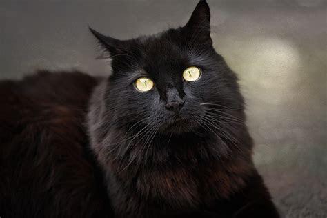 merawat kucing anggora gambar kucing anggora