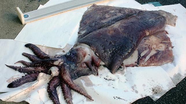 Capturan en Asturias un calamar gigante de una especie poco frecuente