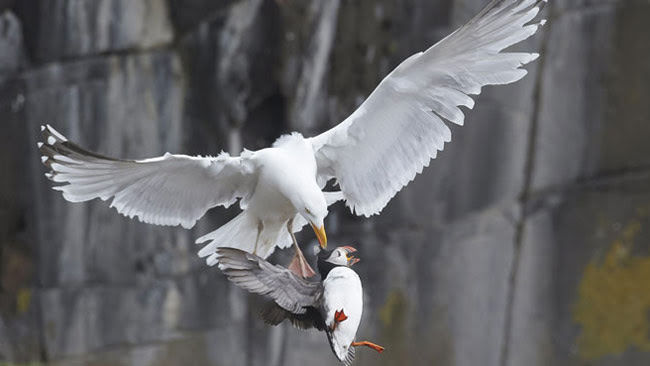 Seagull collects a puffin