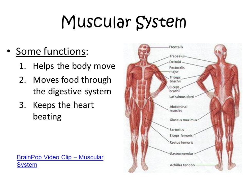 Muscular+System+Some+functions%3A+Helps+the+body+move