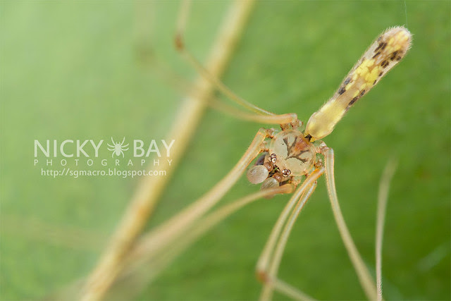 Daddy-Long-Legs Spider (Pholcidae) - DSC_7525