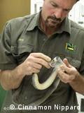 Craig Adams from the  Australian Reptile Park milking a snake - Antivenom from Australian snakes. Photo: Cinnamon Nippard