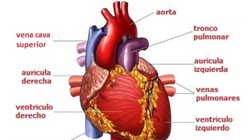 Esquema De Sistema Cardio Vascular Humano Educaycreacom