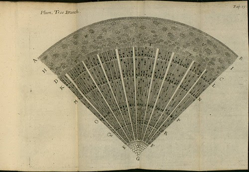 Plum Tree Branch - The comparative anatomy of trunks - Nehemiah Grew 1675