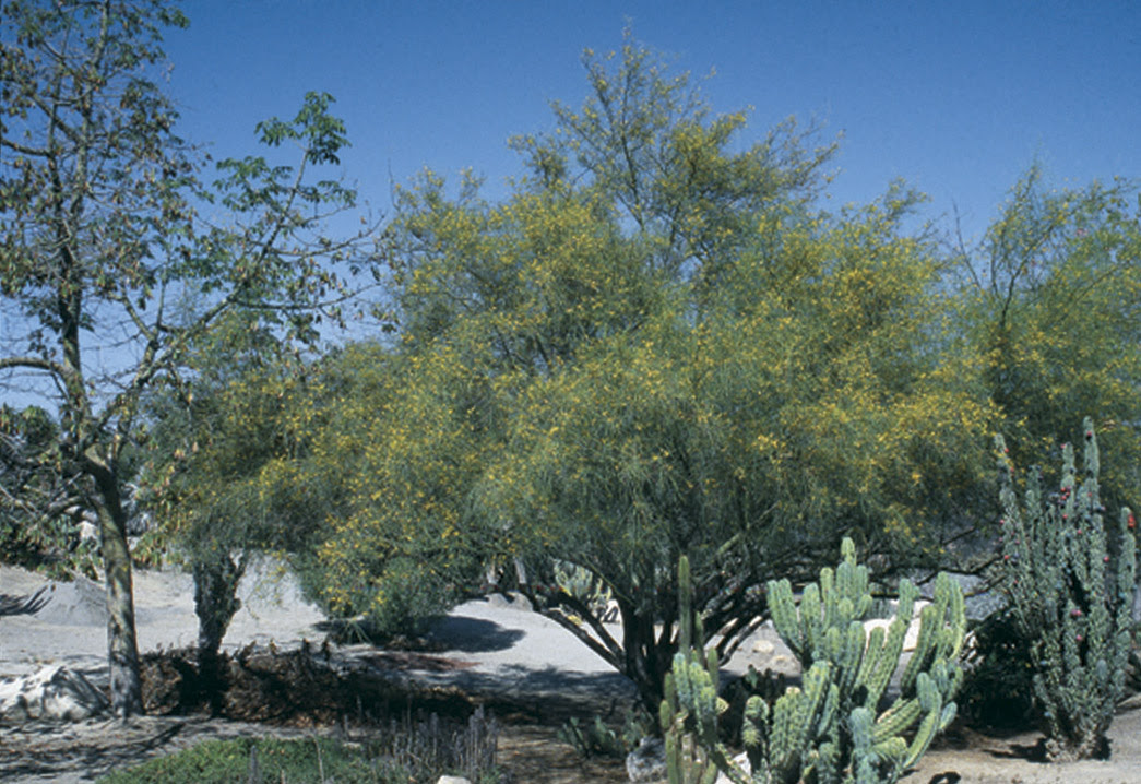 Pacific Horticulture Society Mexican Palo Verde