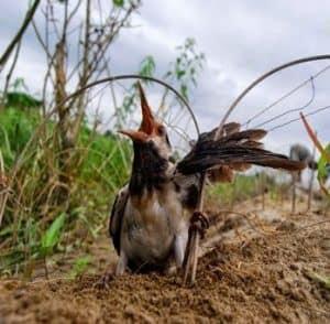 Tidak ada peternak yang ingin memiliki burung peliharaan pancingan hutan yang dihasilkan d 12 Cara Mengobati Burung Pancingan