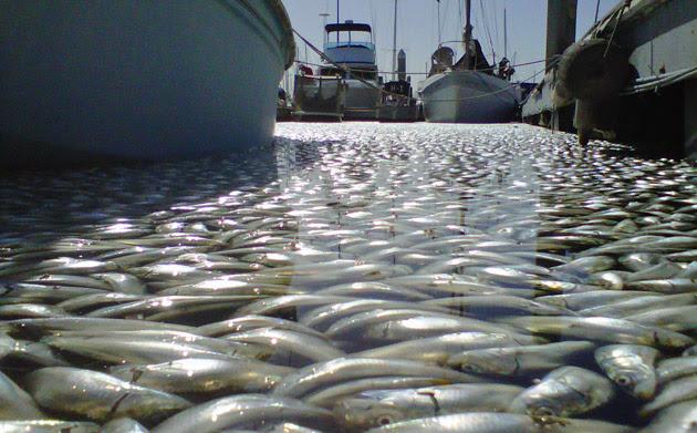 milones de peces muertos en california