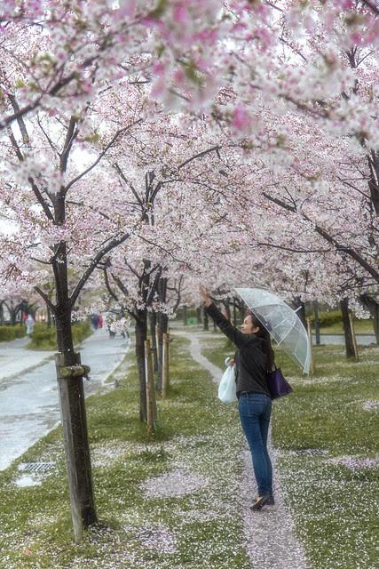 Reaching for Sakura