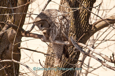 Great Gray Owl Cleaning His Feathers, Middleton, Wisconsin