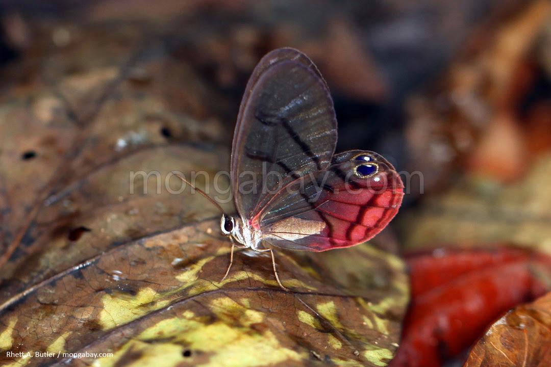 Kupu-kupu dengan sayap transparan