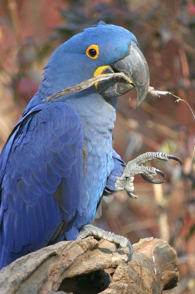 Ficheiro:Hyacinth Macaw - Nashville Zoo.jpg