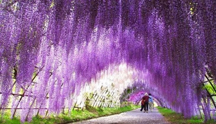 tunel de flores, wisteria japón