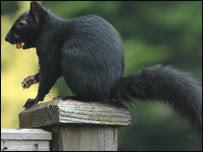 Black squirrel (archive)