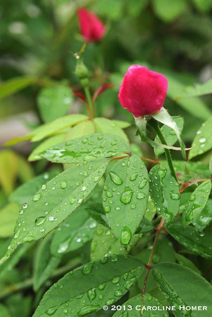 old blush buds