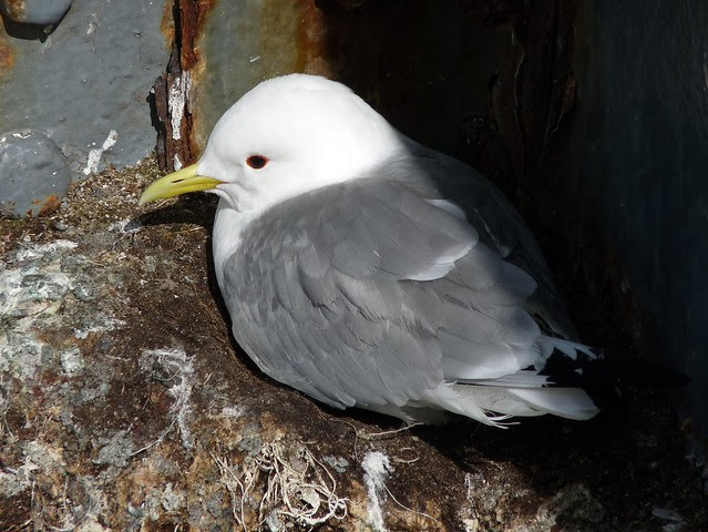 24101 - Kittiwake on Mumbles Pier