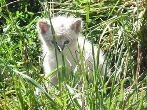 Little White Kitten