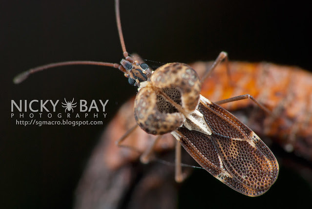 Lace Bug (Ypsotingis sp.) - DSC_5612