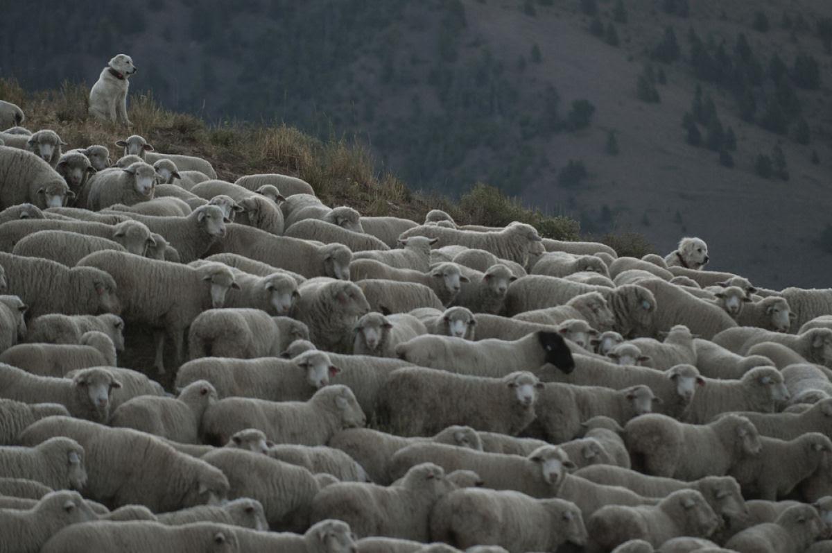 Conheça o Festival de Arrasto de Ovelhas 13