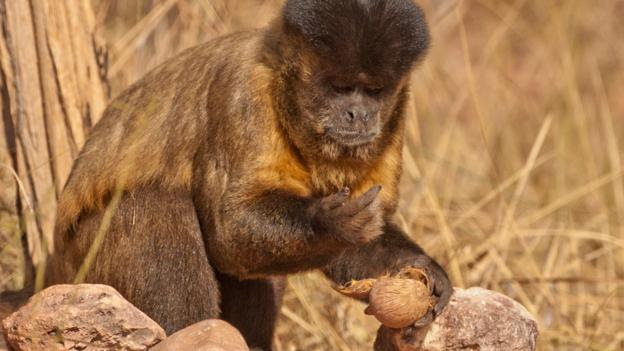 A black-striped capuchin eating a cracked nut (Credit: Mary McDonald/NPL)