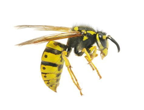Yellow Jackets & Wasps   American Pest Services