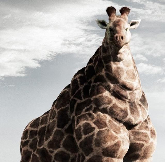 "Strange Animals: The ""fat"" Giraffe (Giraffa Camelopardalis"