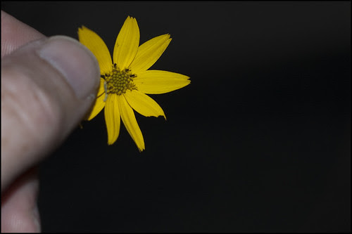 Coreopsis Blossom with Worm
