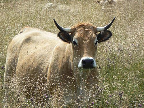 vache dans les herbes 1.jpg