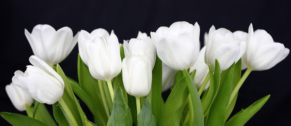 Image result for images of white tulip