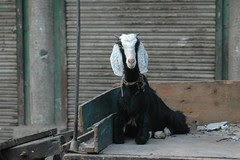 The Spiritual Beauty of The Goat by firoze shakir photographerno1