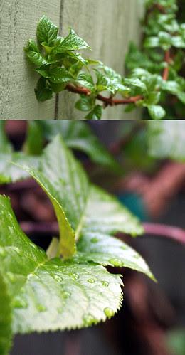 Spring Climbing Hydrangea
