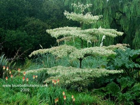 19 best images about Cornus controversa on Pinterest   The
